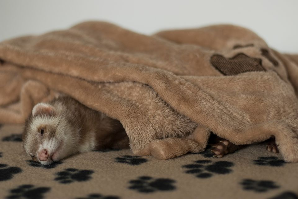 Close-up of Ferret Sleeping at Home