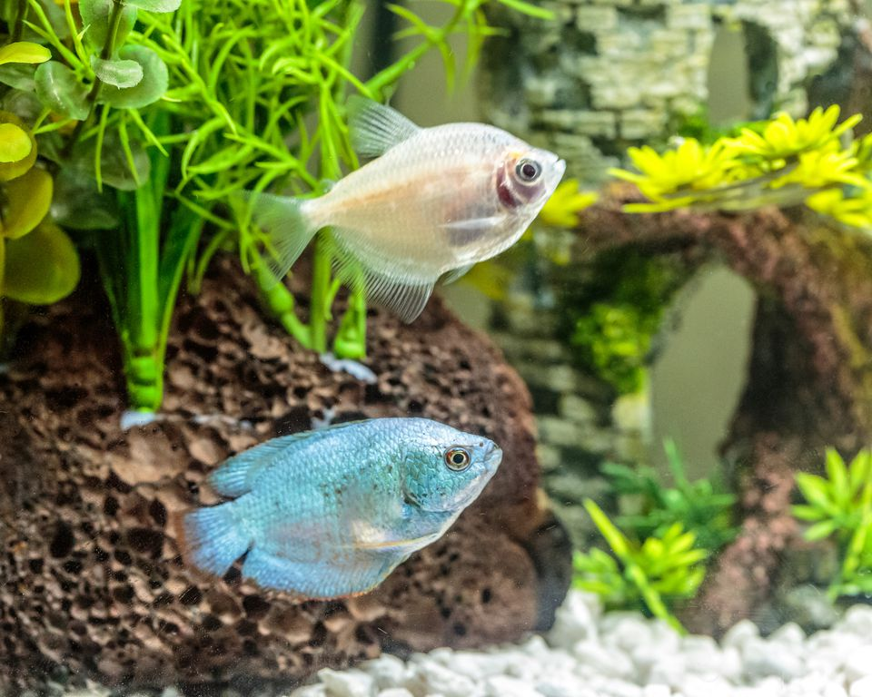 Using Mangroves in a Saltwater Aquarium for Filtration