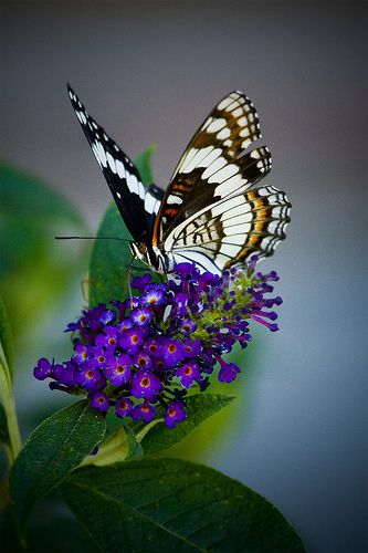 Photo of Butterfly Resting on Butterfly Bush
