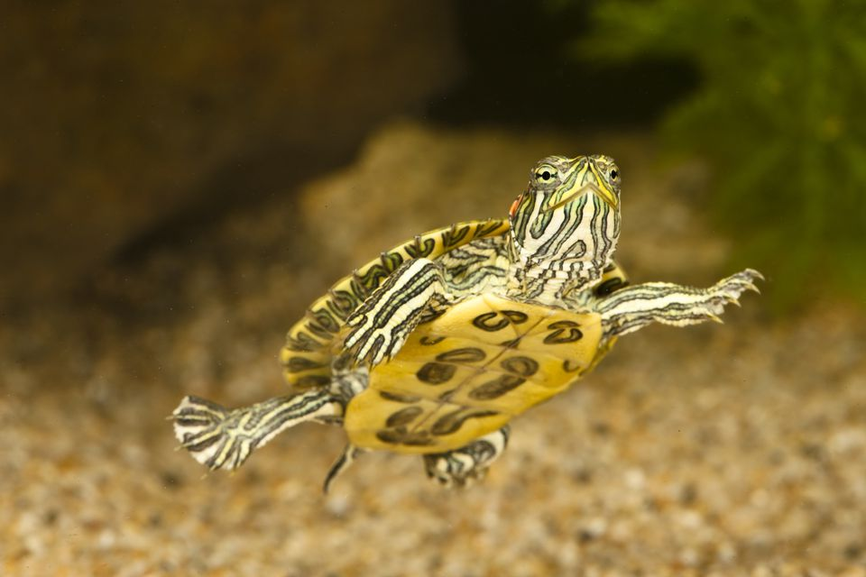 Red-eared slider swimming