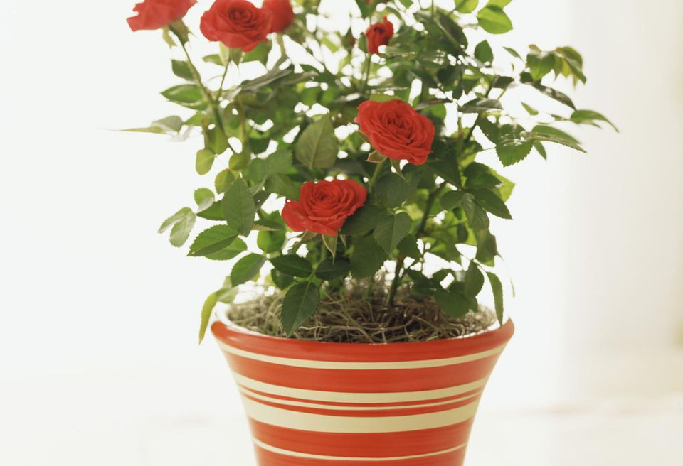 Miniature red roses in pot