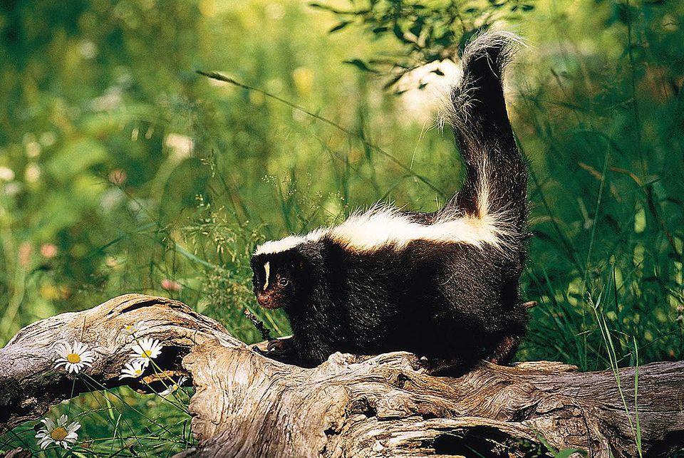 Skunk on log