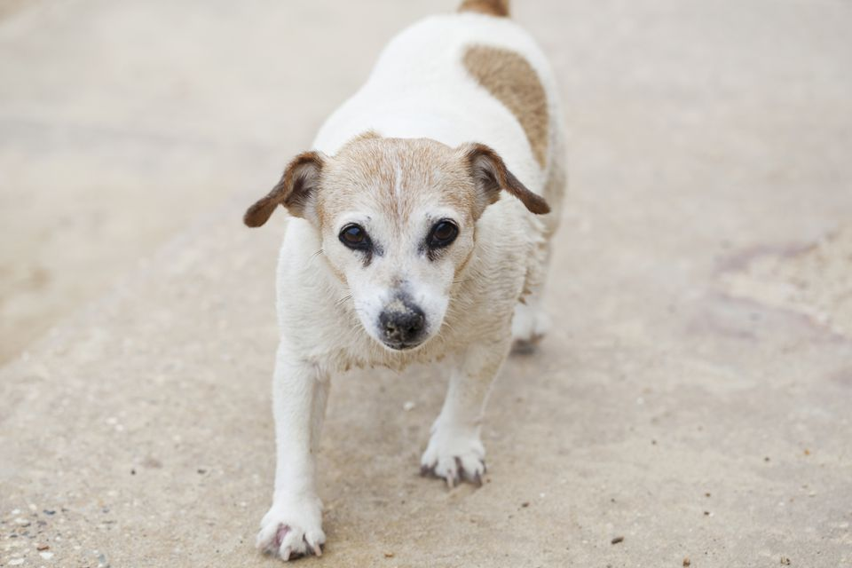 Senior Dog / -Rekha Garton-