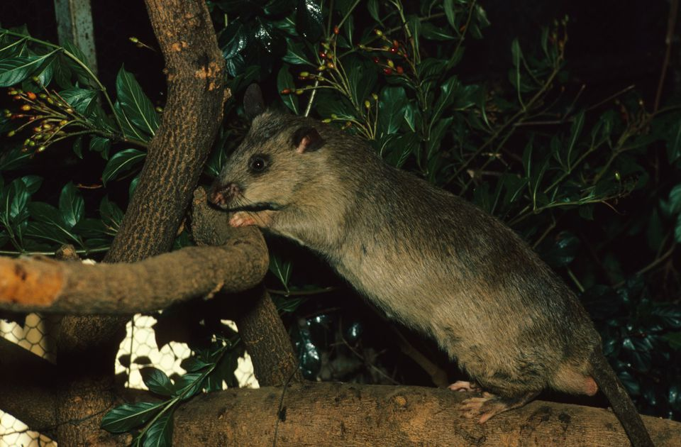 Gambian pouched rat (Cricetomys gambianus), National Zoological Gardens of South Africa, Pretoria, Gauteng Province, South Africa