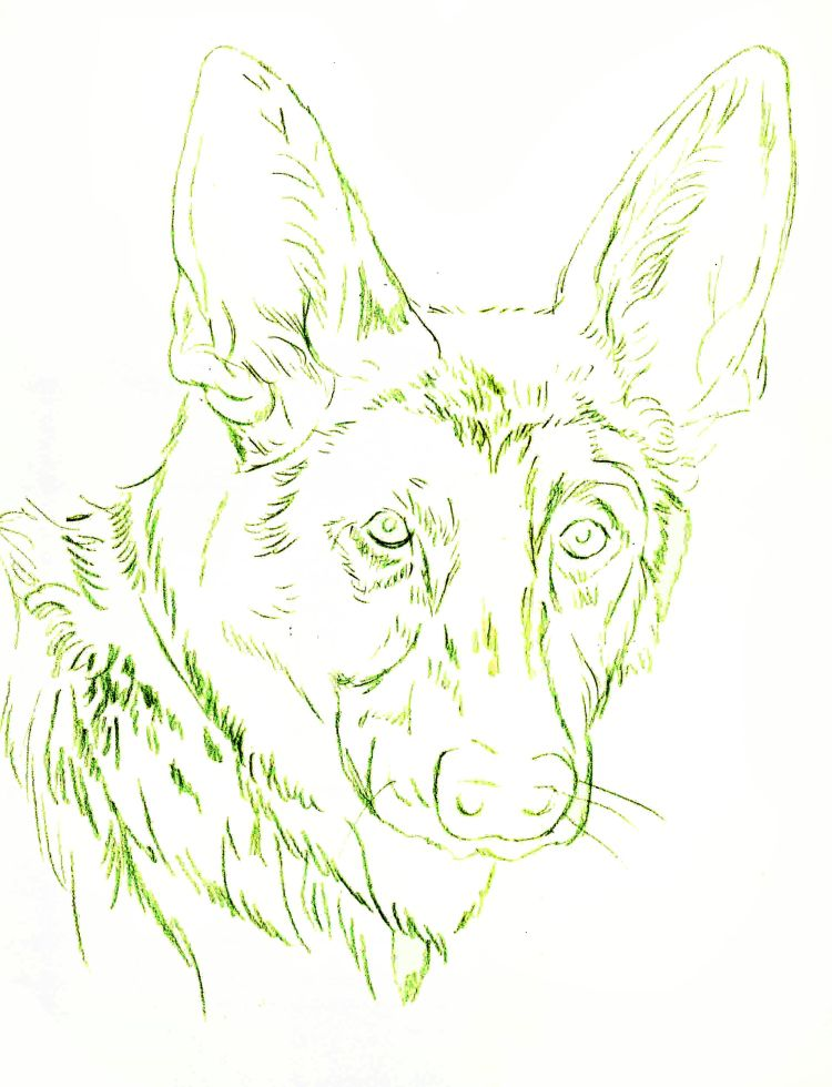 how to draw a wolf dog