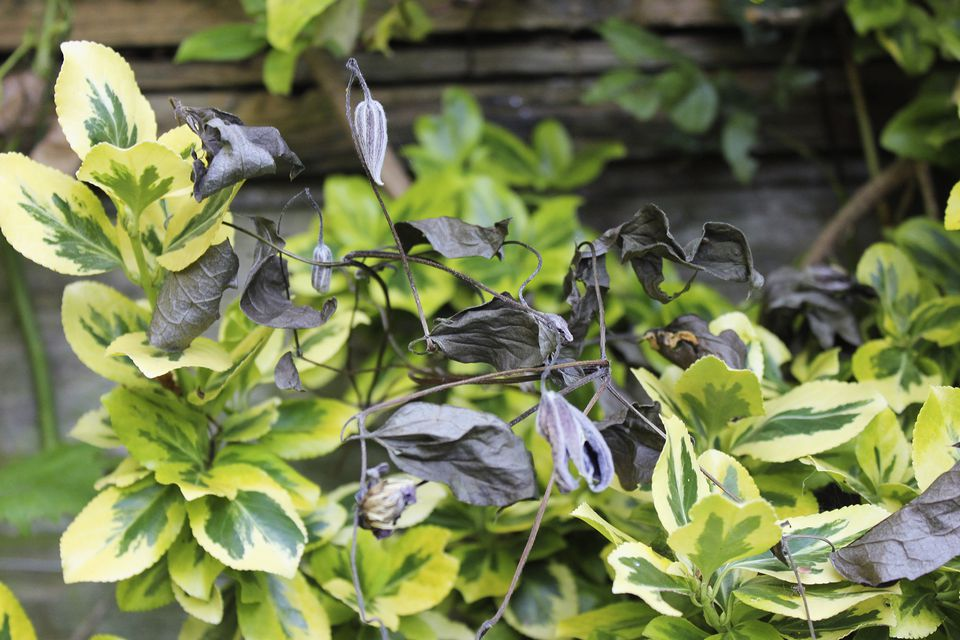 Clematis plant with wilting leaves (clematis wilt), caused by fungus Phoma clematidina