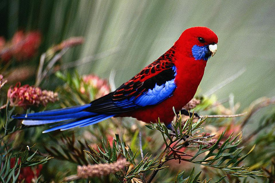 CRIMSON ROSELLA, LAMINGTON NATIONAL PARK, AUSTRALIA