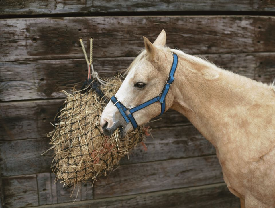 Palomino pony eating hay from a net.