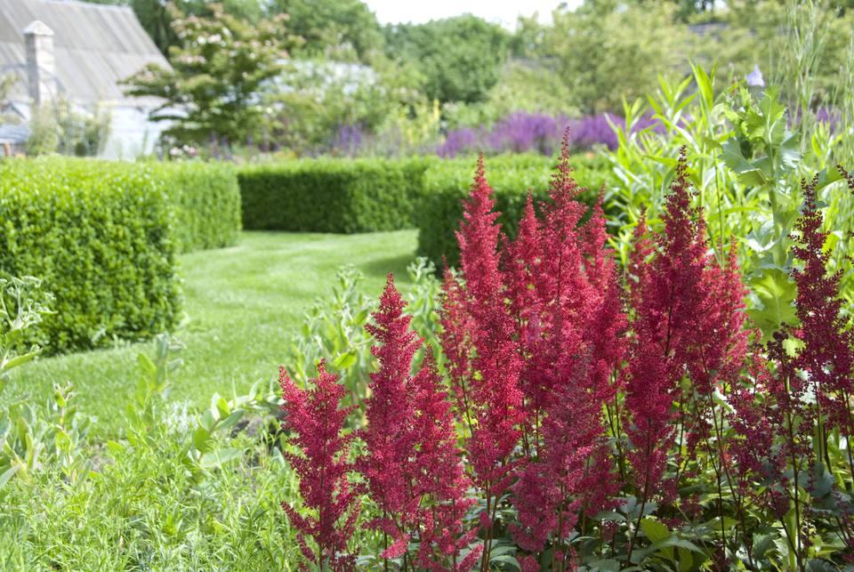 Astilbe standing in an ornamental garden