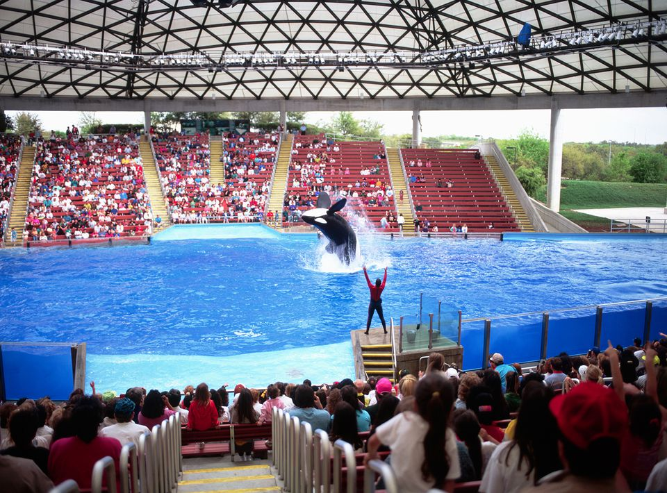 A killer whale leaps into the air for a back dive during a performance at SeaWorld in San Antonio, Texas.