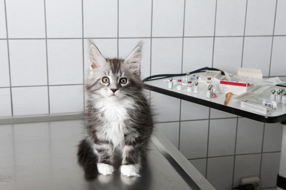 Portrait of cat sitting on table at vet clinic
