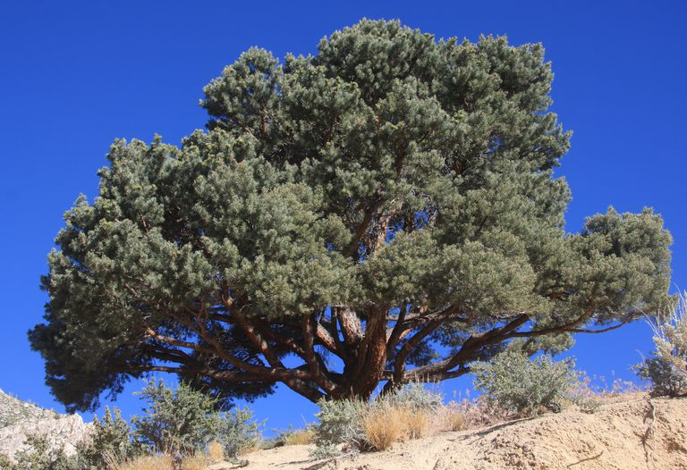A single-leaf pinyon from Mono County, California. The short stature and rounded crown are typical of the pinyon.