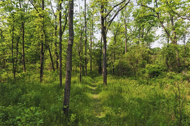 Black Walnut trees,Juglans nigra, in Carolinian forest. Ruthven Park National Historic Site, Ontario. Canada.