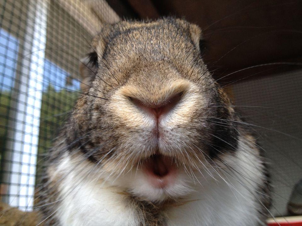Rabbit close-up
