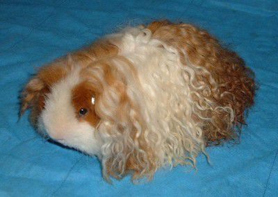 Introduction to guinea pig breeds texel guinea pig sciox Gallery