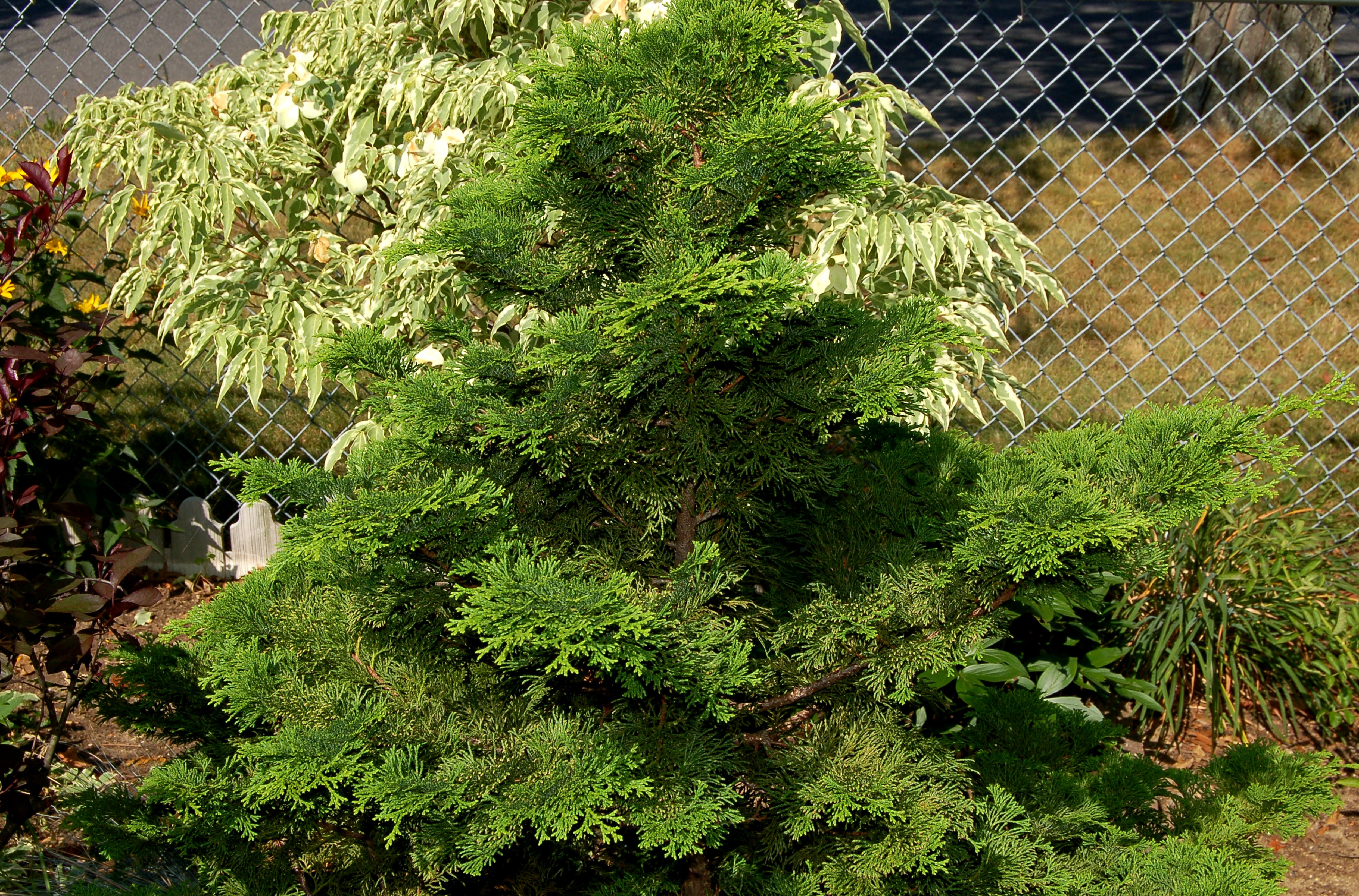 how to grow u0027emerald green u0027 arborvitae trees