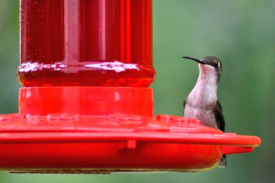 Red dye in hummingbird nectar hummingbird at red feeder forumfinder Image collections