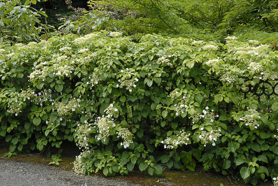 Flowering ground covers pictures and growing tips climbing hydrangea is a ground cover too mightylinksfo