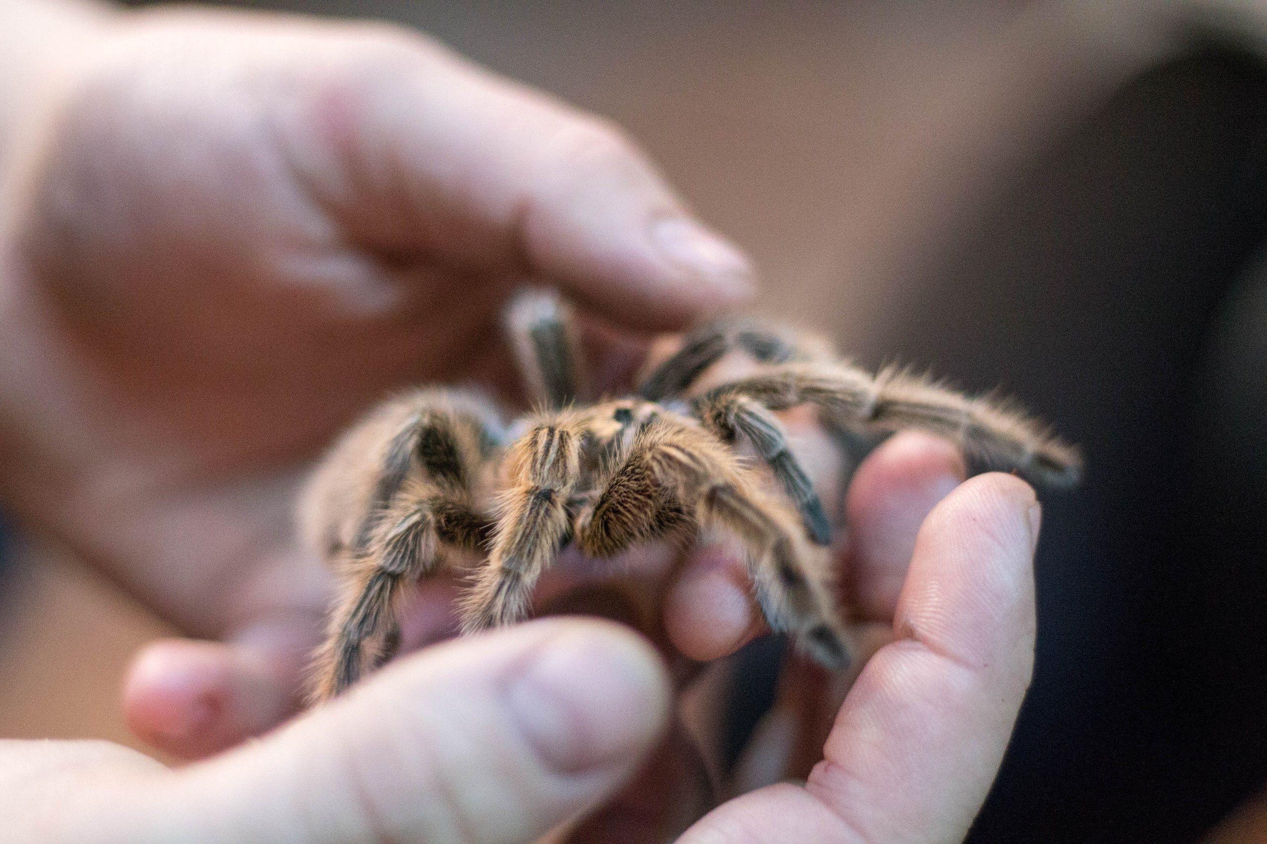 Keeping And Caring For Tarantulas As Pets
