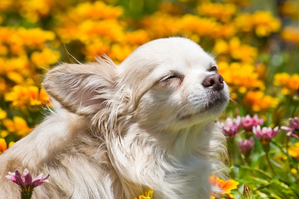 Chihuahua with eyes closed inf ield of flowers