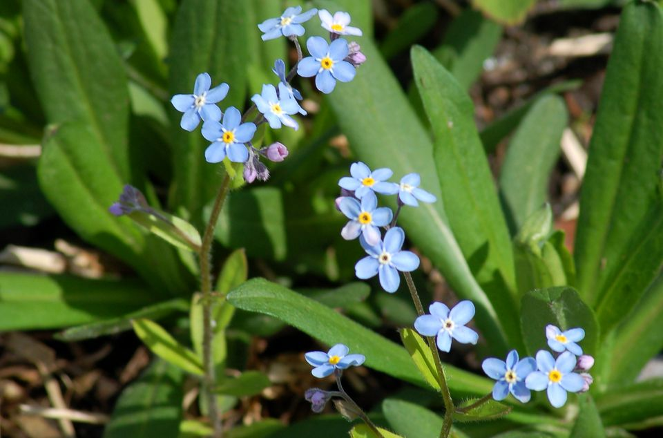 Image of forget-me-not flowers.