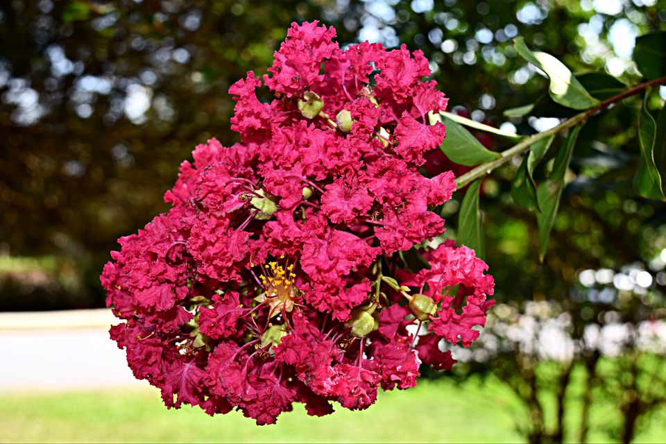 Crape myrtle in bloom with deep pink flowers.