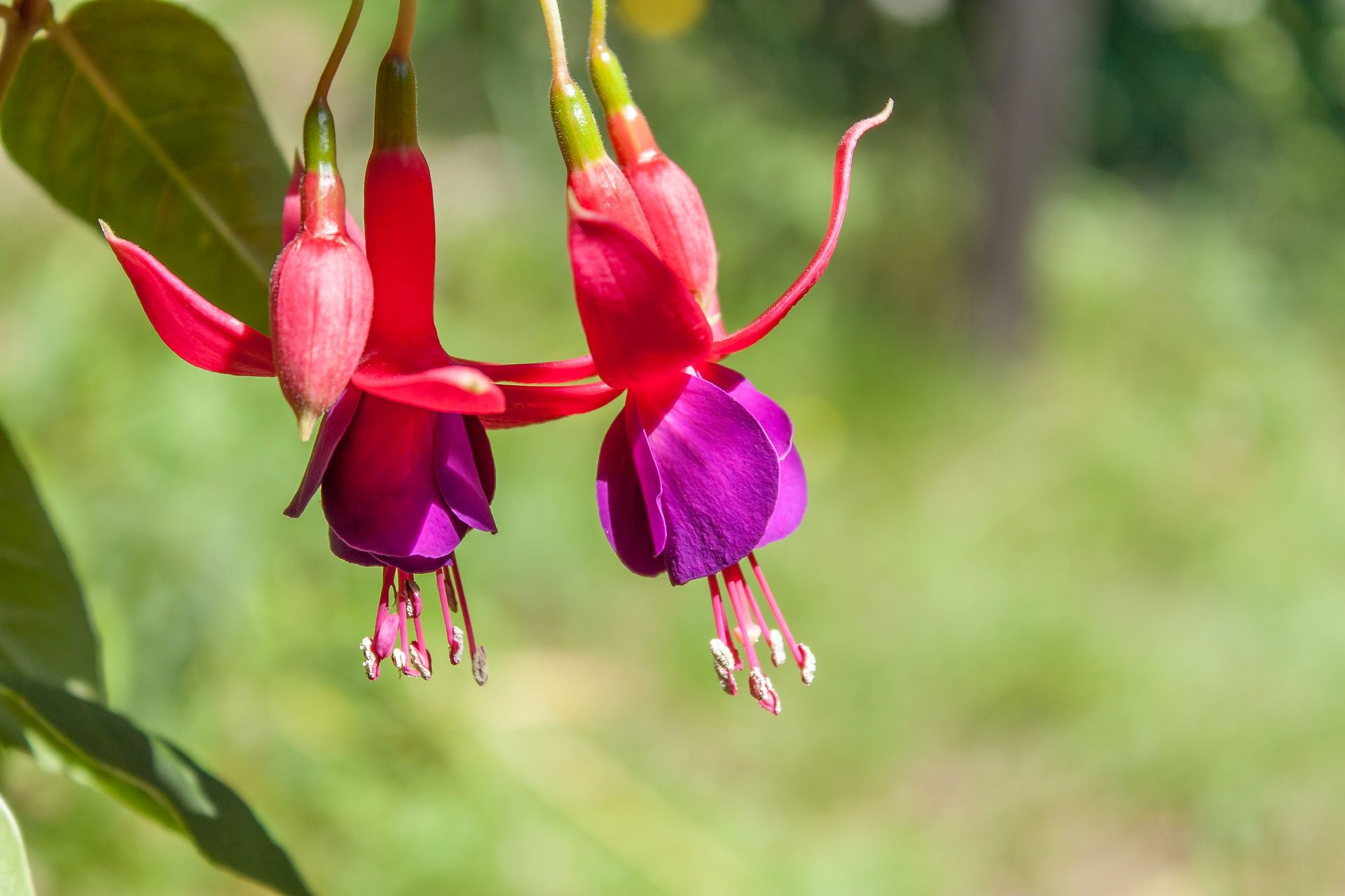 Shade Loving Fuchsias Make Great Container Plants