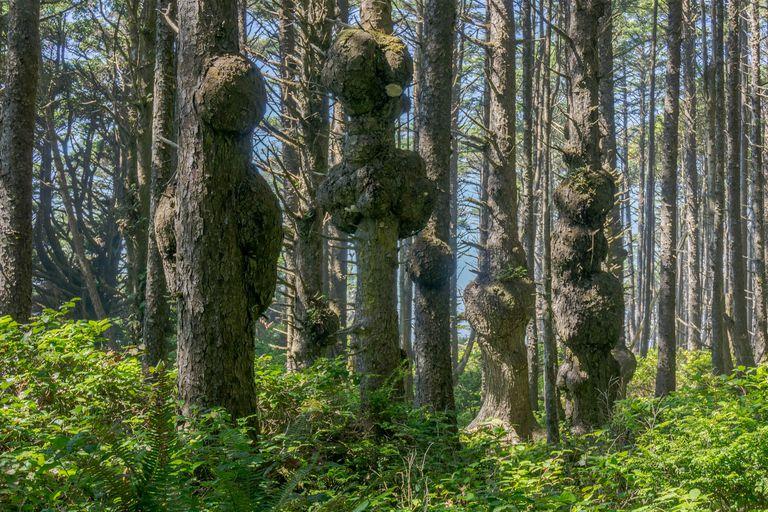 Trees with burls