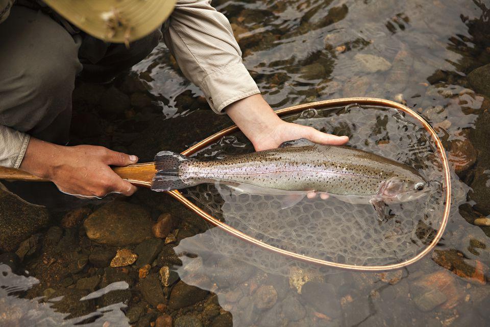 Rainbow Trout in Net in River