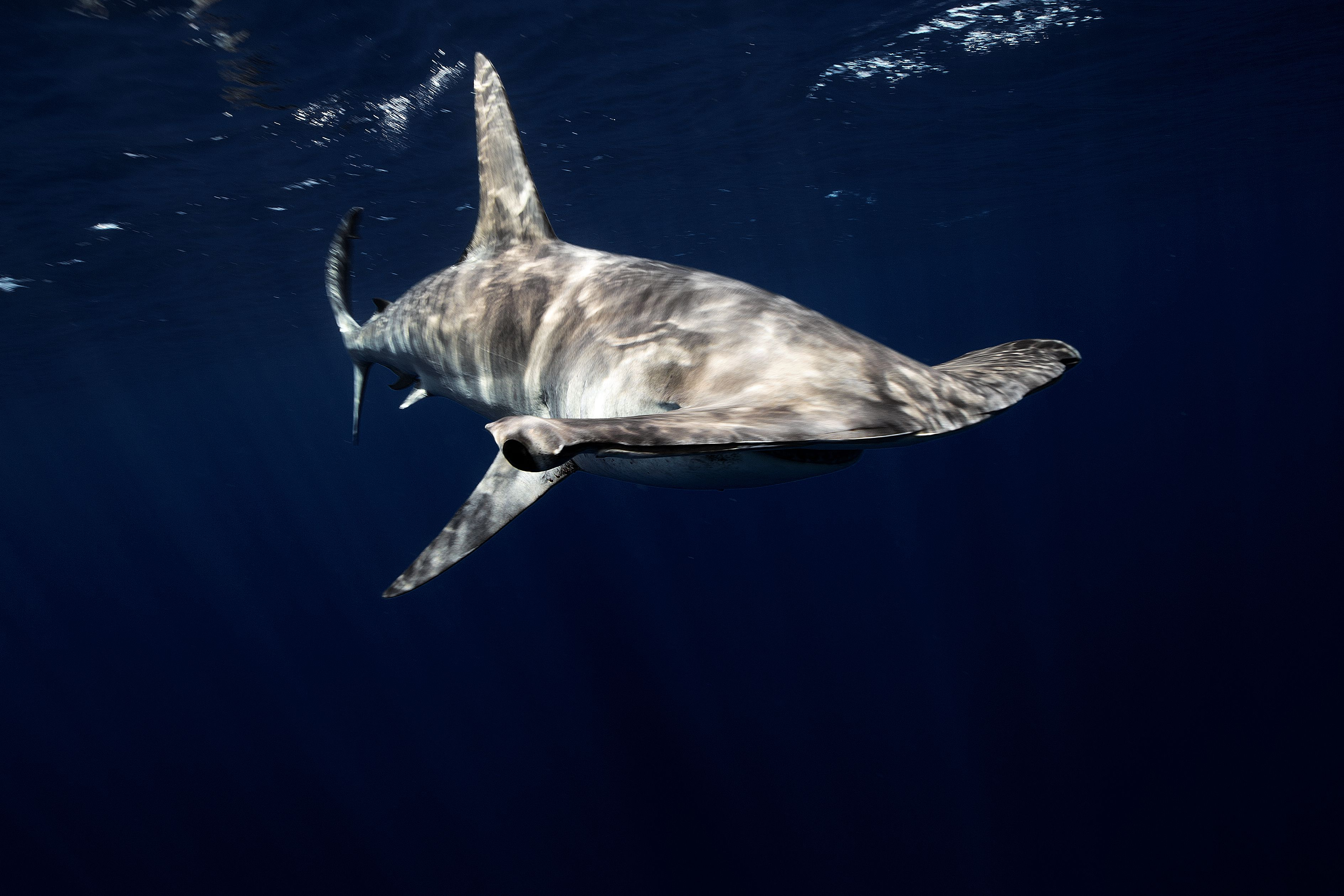 10 different types of hammerhead sharks