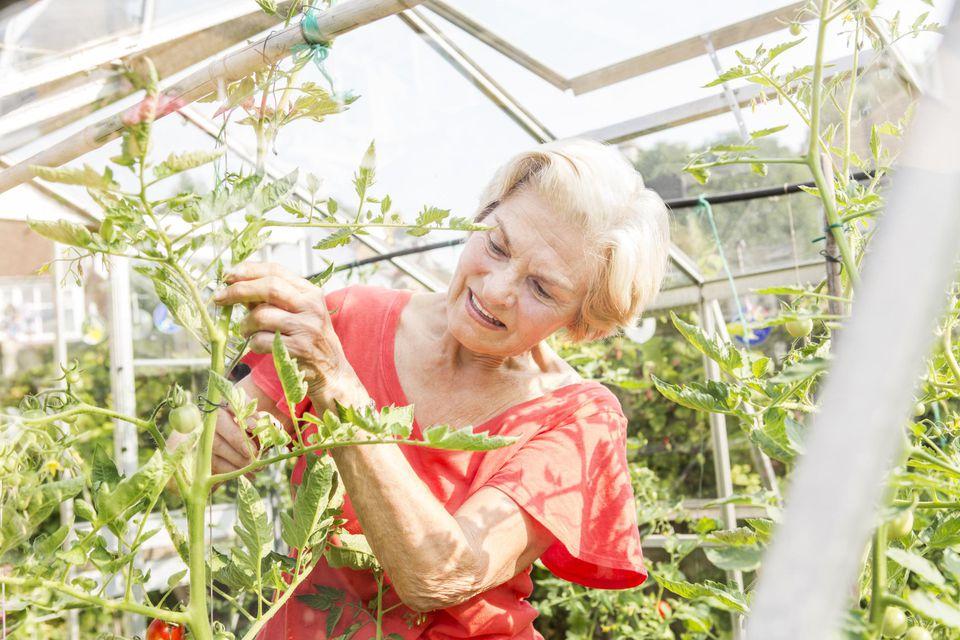 Senior woman pruning tomato plants.