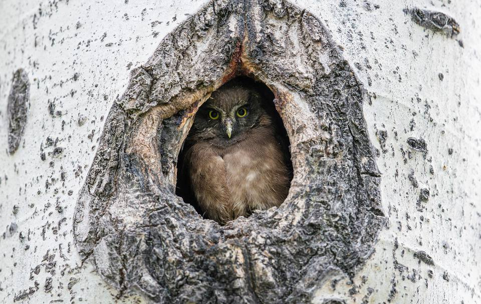 An Owl In A Nest Cavity
