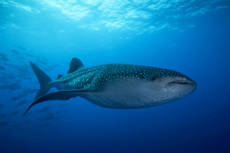 Whale Shark with a school of Jacks