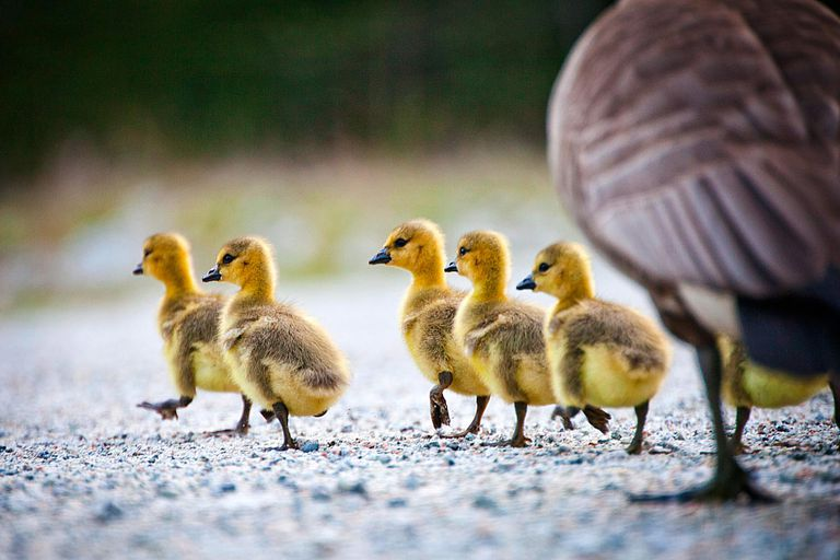 These Canada goose chicks are undeniably cute, with all that soft, yellow down and their little wobbling gait.