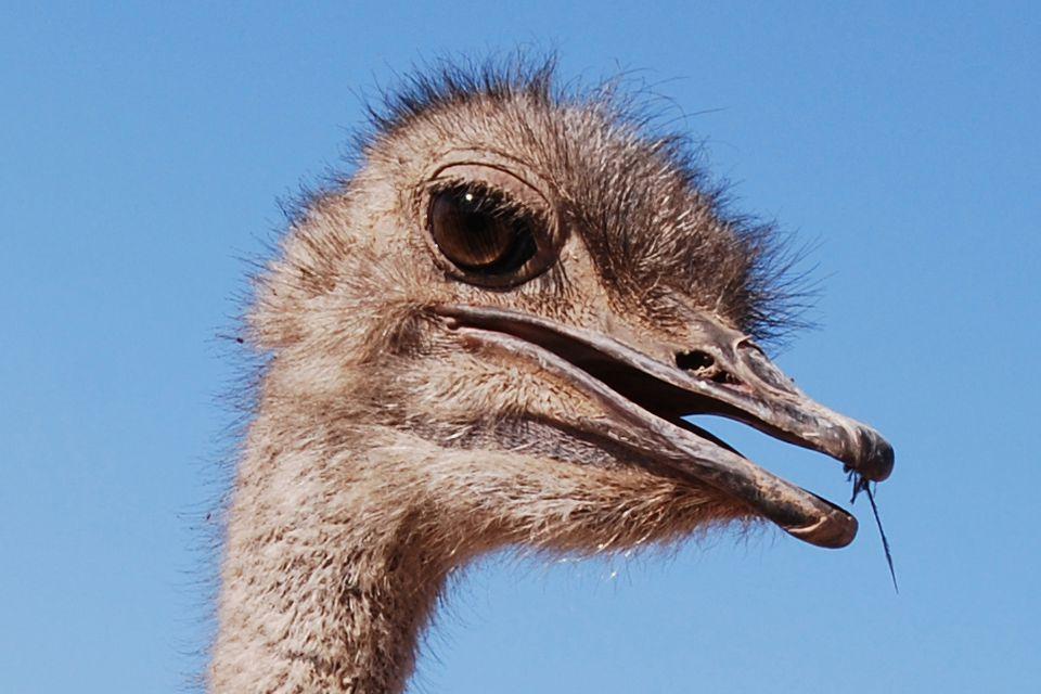 ostrich2009_1000.jpg