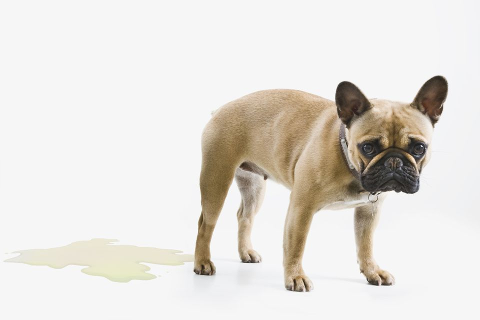 French Bulldog wets the floor & looks embarrassed