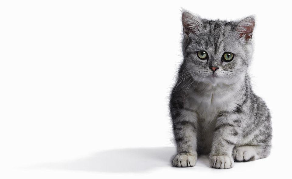 Kitten (Burmilla) sitting on white background