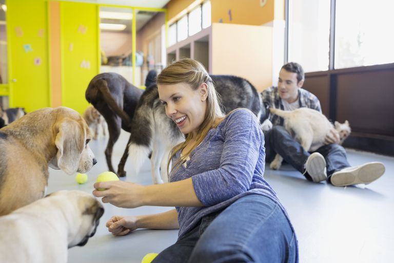 Daycare owner with tennis ball playing with dogs