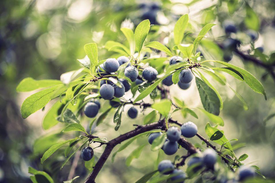 sloe plum