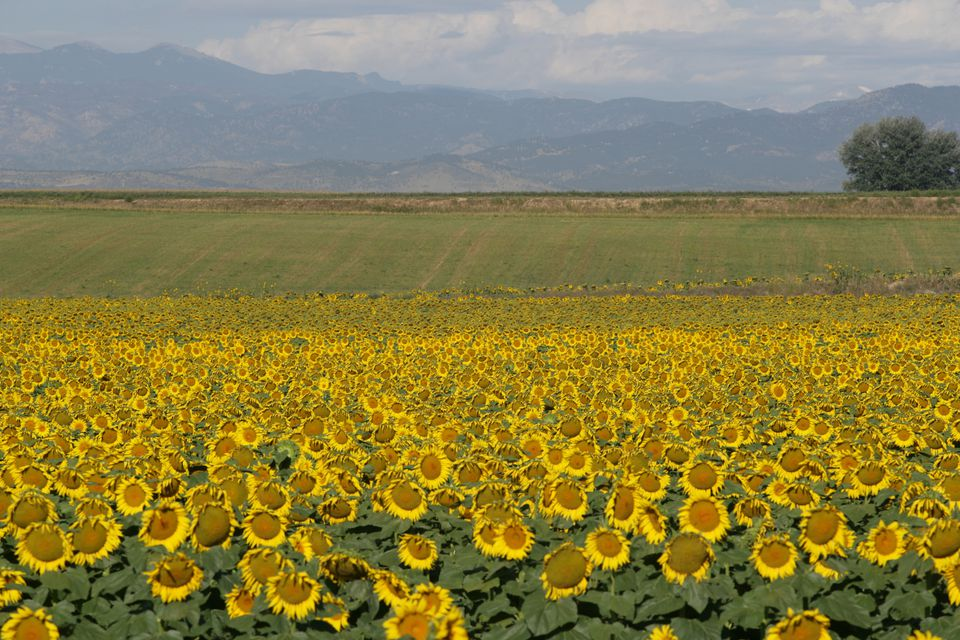 Sunflowers in Fort Collins
