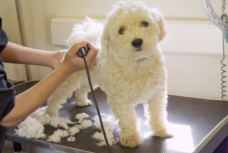 Dog Being Groomed In Vets