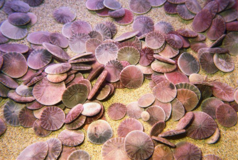 Sand dollars (Echinodermata), Monterey, Ca
