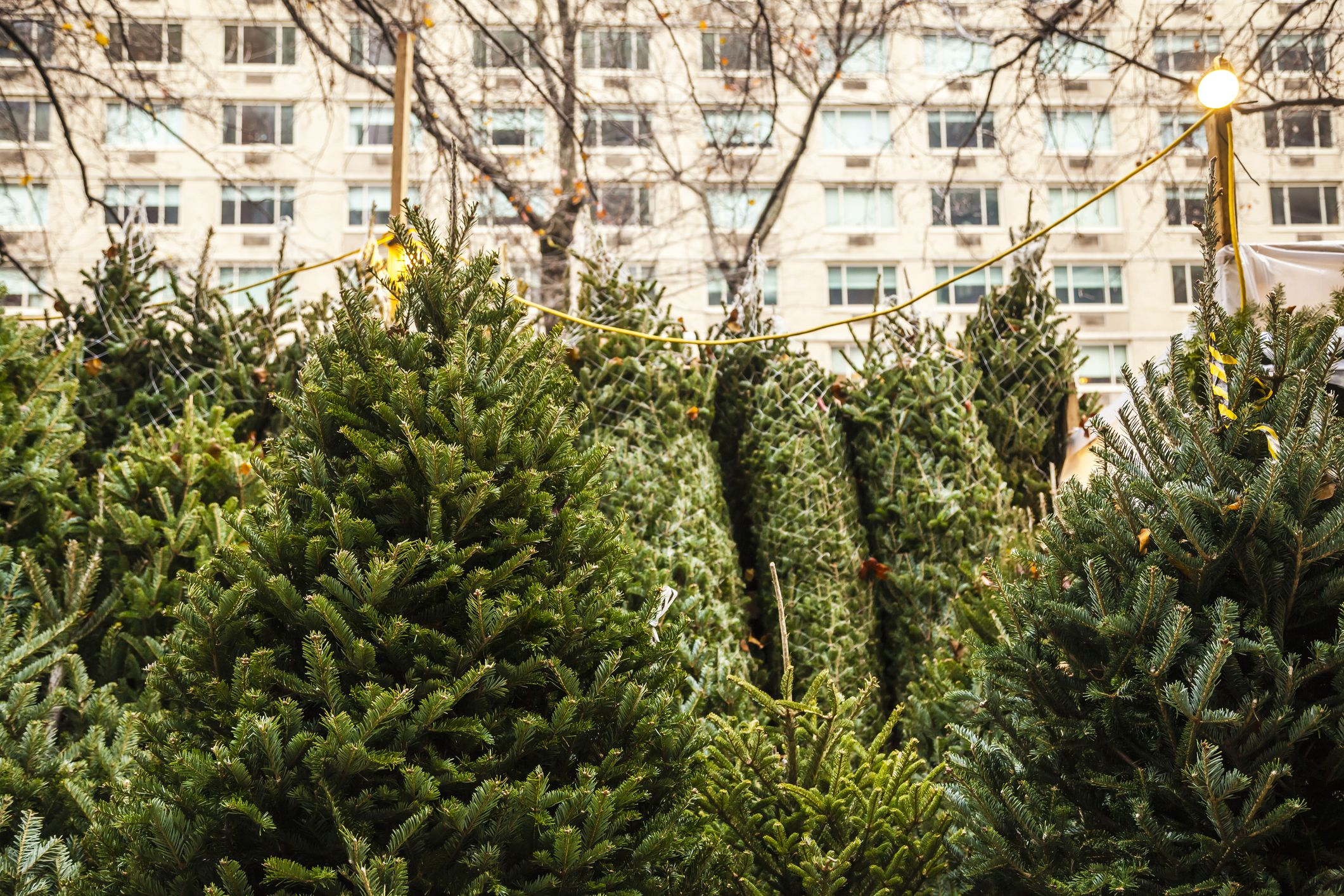 Where to buy a real christmas tree in nyc for Christmas trips to new york