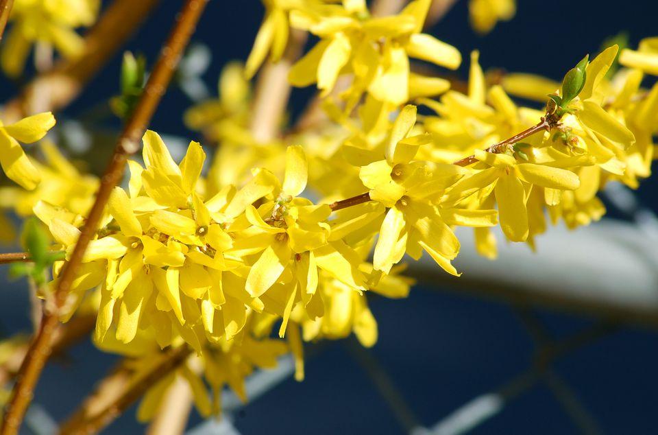 forsythia branch in bloom