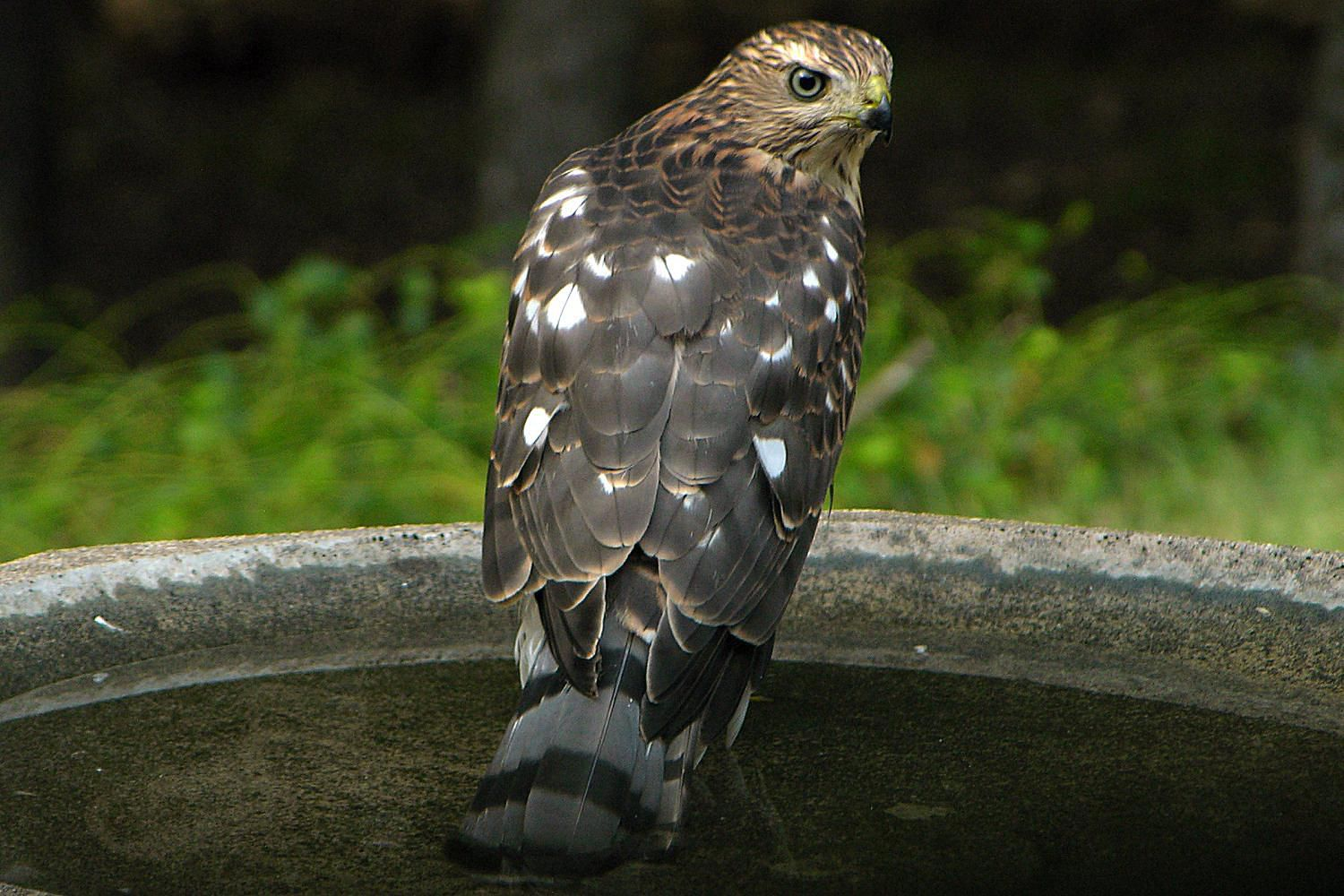 how to attract backyard hawks