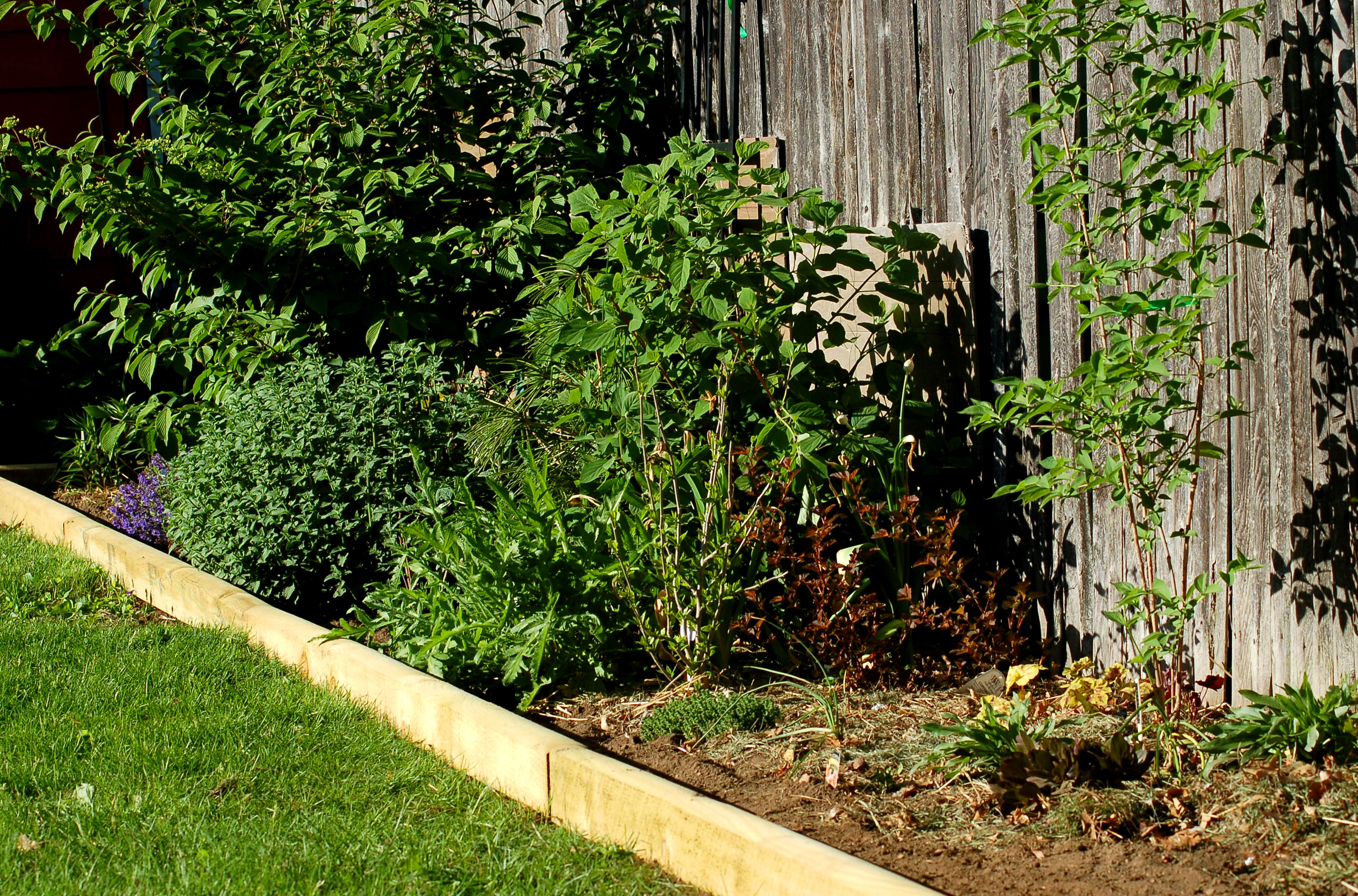 ajuga ground cover bugleweed plants too loud in a yard