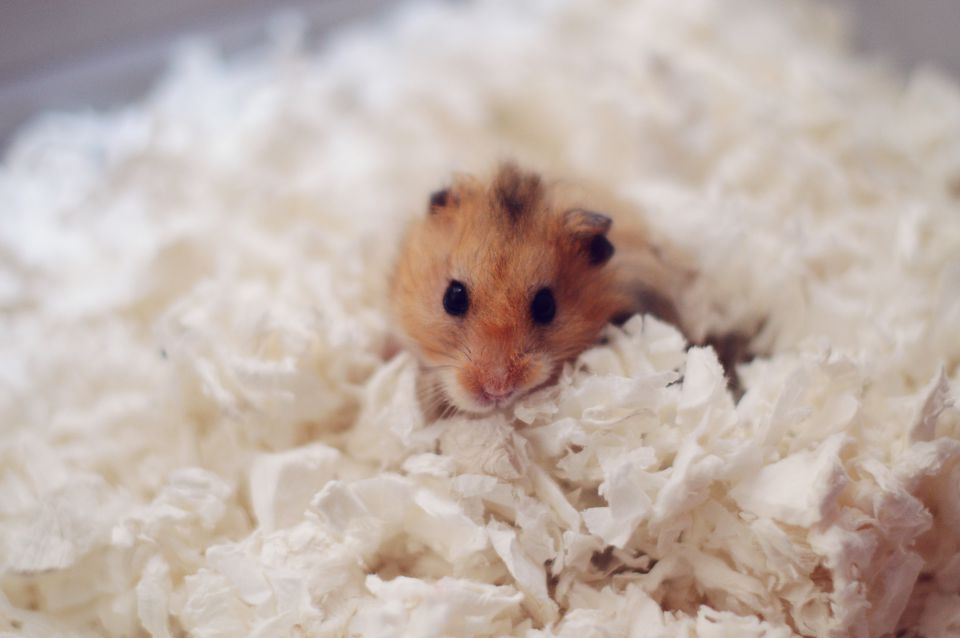 3 Types Of Bedding For Guinea Pigs