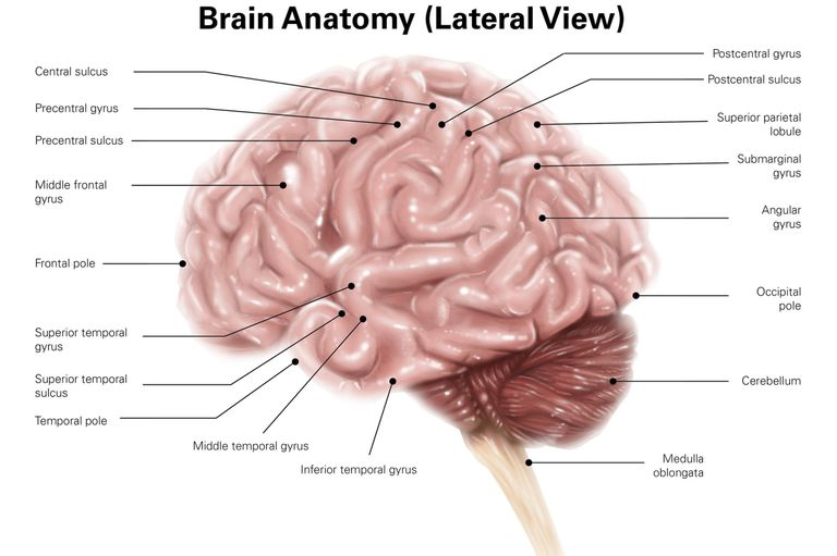 Central nervous system brain and spinal cord brain human brain lateral view ccuart Choice Image