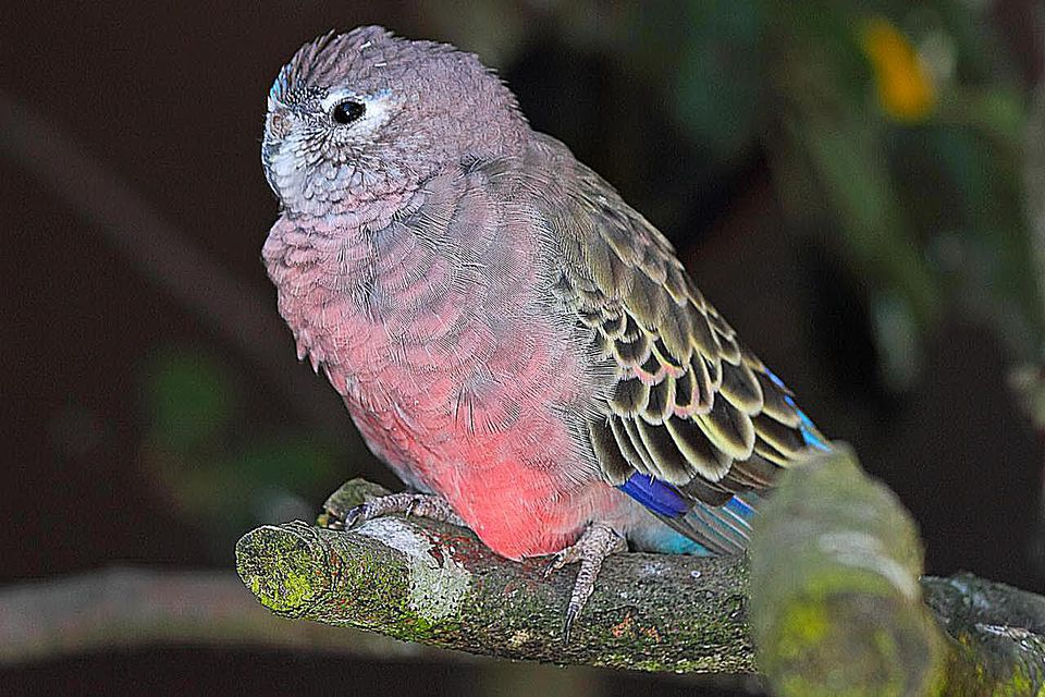 Bourke's Parrot (Neopsephotus bourkii, formerly known as Neophema bourkii), is a small parrot originating in Australia and the only species in its genus Neopsephotus.