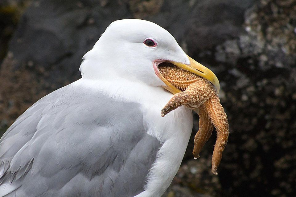 Gull Eating a Sea Star